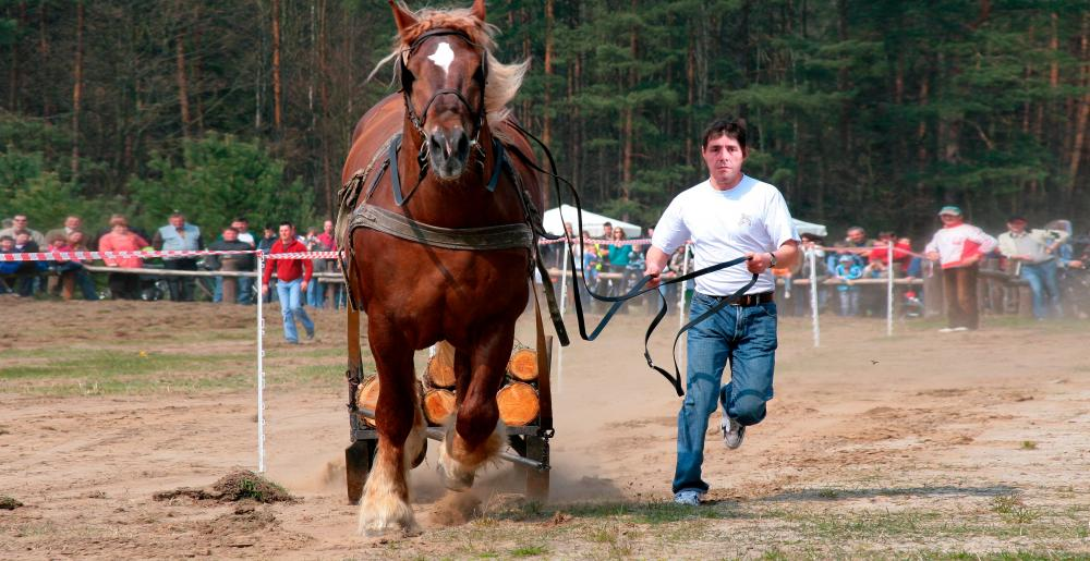 Draft horse in competition